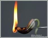 arisarum-simorrhinum-sutil-efimera-luz-fragil-candil_2_804346