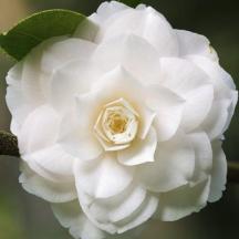 camelia-nobillissima-blanc-carre-main-12174510