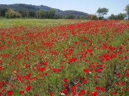 1200px-Poppy_field,_Lesvos,_Greece,_16.04.2015_(16687685144)