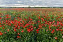campo-del-papavero-con-i-fiori-rossi-di-fioritura-101053045