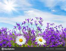 Summer bright scenery. Field of beautiful flowers bells and chamomile with blue sky and clouds.