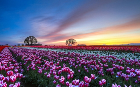 Flower-Fields-Pictures