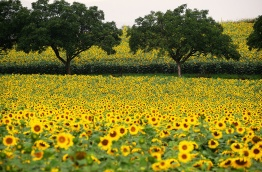 Sunflowers_Fields_461113