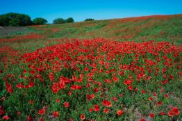 ukraine-beautiful-place-field-flowers-red-poppy-copy-space-147672143